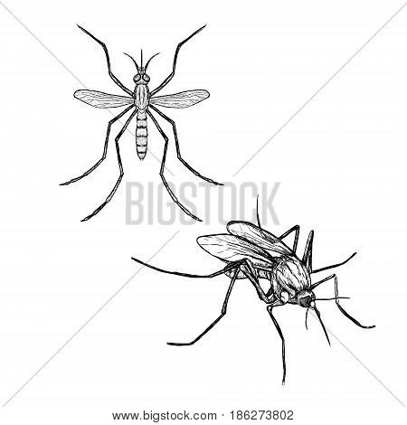 Hand drawn set of mosquito. Realistic isolated sketch of animal. Line graphic design. Black and white drawing insect. Vector illustration.