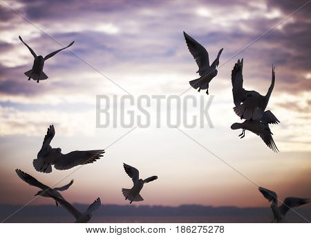 Group of seagulls are flying in sunset time and are looking for food.