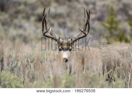 Buck Mule Deer Hiding Behind Grass In Meadow With Sagebrush In Autumn