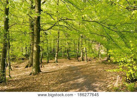 Beautiful pathway trough early horizontal Danish springtime beech forest