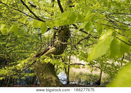Closeup springtime beech tree close to forest and lake in Denmark.