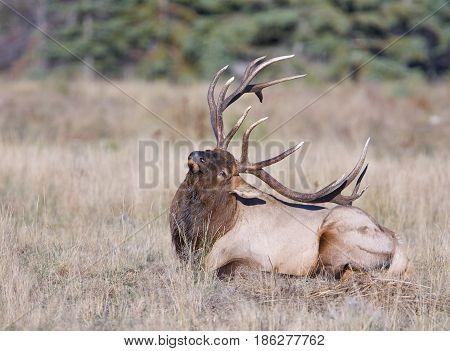 Canadian Elk