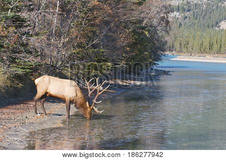 Canadian Elk drinking for mountain stream in autumn