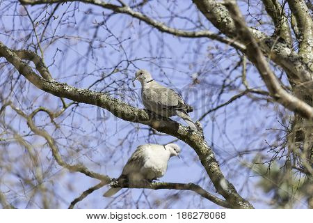 Collared Dove Sitting on Branch in Tree.