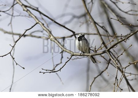 White wagtail Sitting on Branch in Tree.