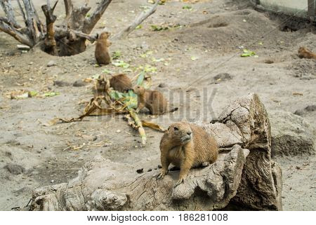 Budapest, Hungary - July 26, 2016: Prairie Dog At Budapest Zoo And Botanical Garden, Hungary.