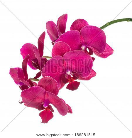 beautiful branch of flowering magenta phalaenopsis orchid. Pink orchid isolated on white background