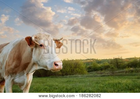 cow grazing on meadow. Cattle on a mountain pasture on sunset. Green meadow and cow, summer landscape. Closeup of cow muzzle look at the camera. Photo with copy space