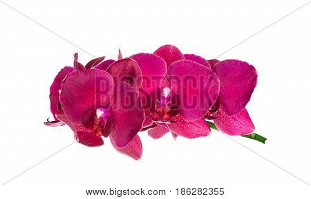 branch of orchid isolated on white. Beautiful pink phalaenopsis orchid flowers
