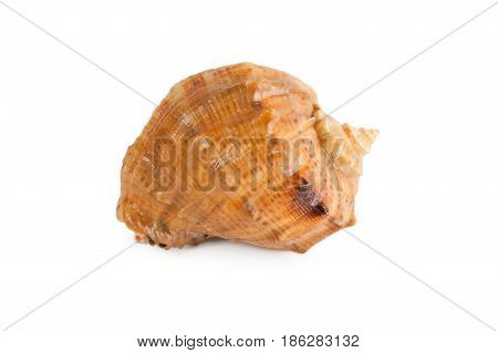 The seashell isolated on the white background