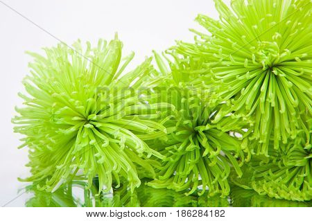 Close up green chrysanthemums on the white background