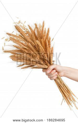 hand is holding golden barley ears isolated on white background