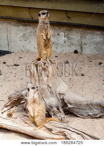 A Suricate Suricata Suricatta Standing On A Log