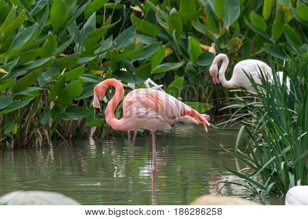 Beautiful pink flamingos in the pound water