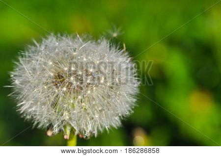 Dandelion on the rain. Dandelion seeds with water drops on the rain