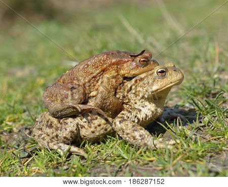 common toad bufo bufo in natural habitat