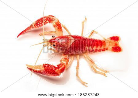 Crayfish Procambarus Clarkii Ghost On White  Background