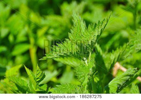 Common nettle (Urtica dioica) in spring. Wild nettle