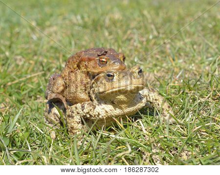 common toad bufo bufo on grass in spring