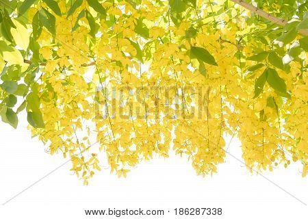 Flower of golden shower tree(Cassia fistula) isolated on white background