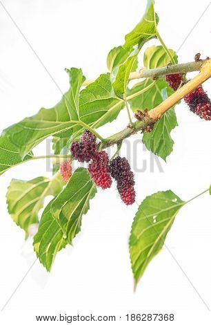 Fresh mulberry black ripe and red unripe mulberries on the branch.