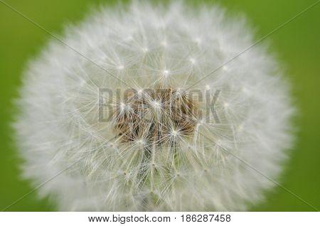 Close up of dandelion. Dandelion seeds flower in nature