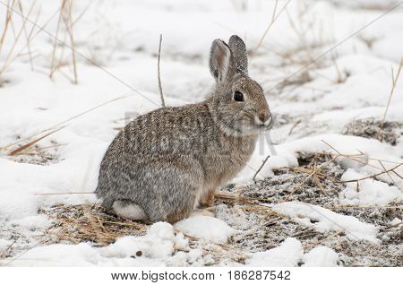 Mountain Cottontail Rabbit On Snow With Dead Grass As Forage