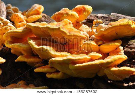 Laetiporus sulphureus