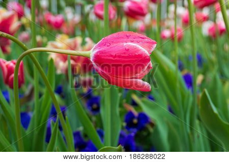 Raindrops on a red Flower. Close-up of a Tulip (Tulipa) on a rainy Day. Raindrops on a red Tulip. A Field full of Red Flowers. Garden Flowers. Spring Flowers
