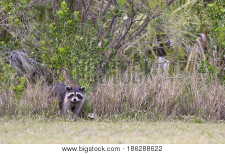 Raccoon Standing At Edge Of Forest Near Green Grass In County Park