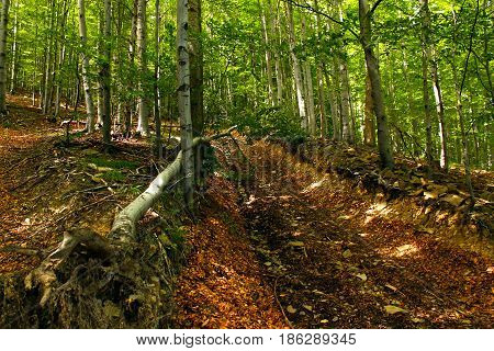 An uprooted tree on a forest path