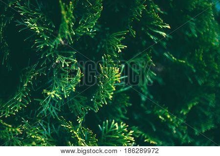 conifer tree unfocused background. close up blurred nature