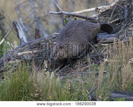 American beaver building lodge with sticks in pond