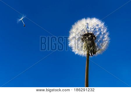Dandelion. Dandelion fluff. Dandelion tranquil abstract close-up art background. Clear blue sky. Flying fluff.