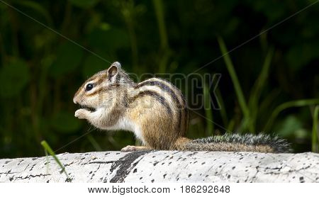 Siberian Chipmunk Eating On Aspen Log With Grass In Background