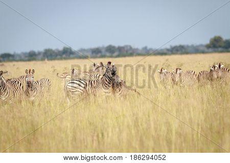 Two Zebras Bonding In Chobe.