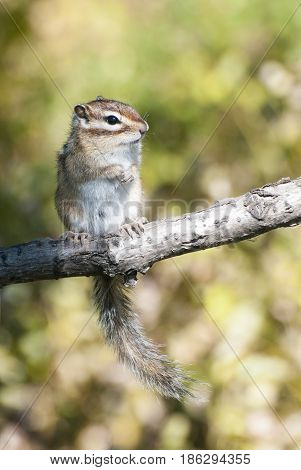 Siberian chipmunk standing on tree limb with green background