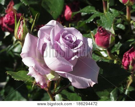 Single violet rose flower with red roses around in spring