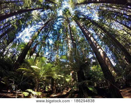 Giant Redwood Forests In Rotorua North Island New Zealand
