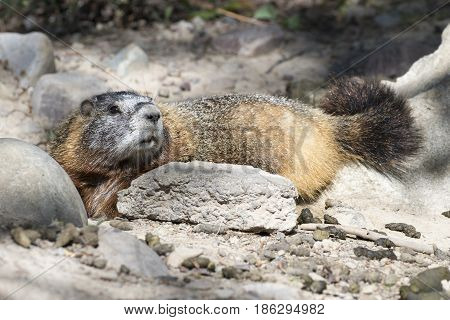 Yellow-bellied Marmot Lying At Burrow With Scat In Foreground
