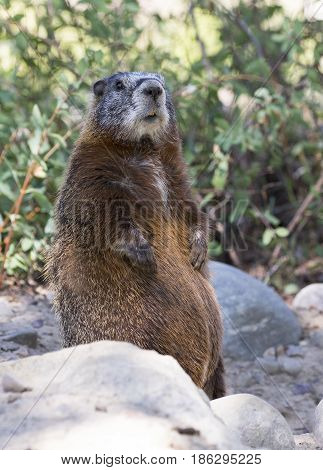Yellow-bellied Marmot Standing On Back Legs On Rocks With Scrubs