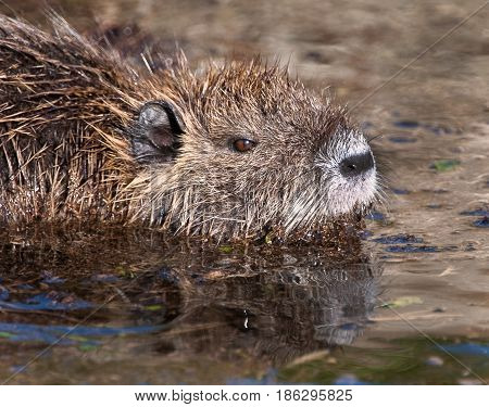 Nutria rodent in ditch with brown water