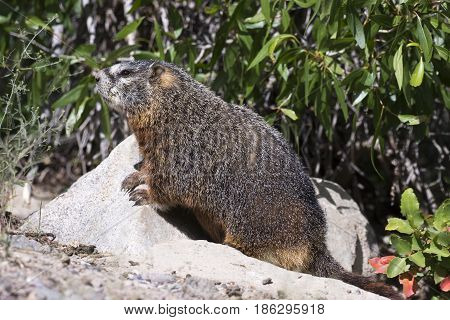 Yellow-bellied Marmot Iat Burrow With Narrow Leaf Cottonwood Tree In Background