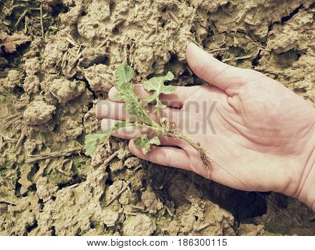 Pink Skin Hand Yanks A Small Oilseed Rape Plant From Wet Humus Clay. Man Check Quality