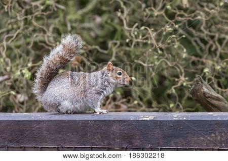Wild grey squirrel (sciurus carolinensis) sits on rail
