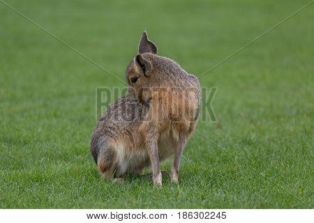 Mara or patagonian cavy (dolichotis patagonum) on grass