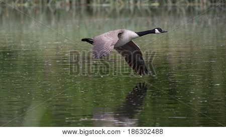 Canada Goose (Branta canadensis) in flight over river