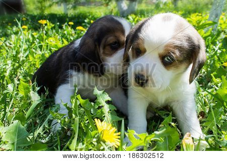 Two small puppies of the Beagle breed are playing in the grass. The dogs are sitting. Sad. Shallow depth of field