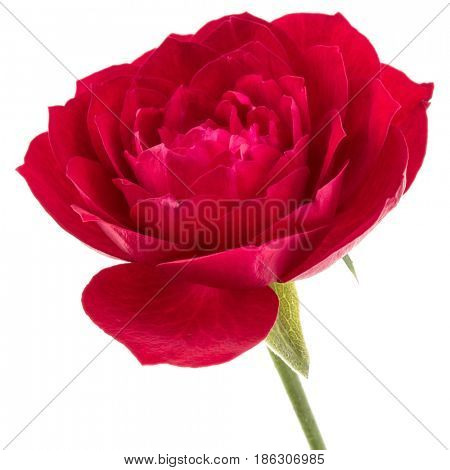 one red rose flower head isolated on white background cutout