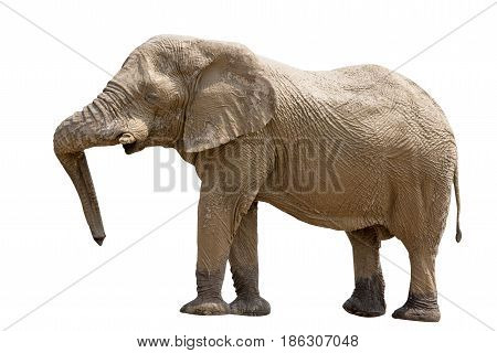 Elephant standing isolated on white background, seen in namibia, africa